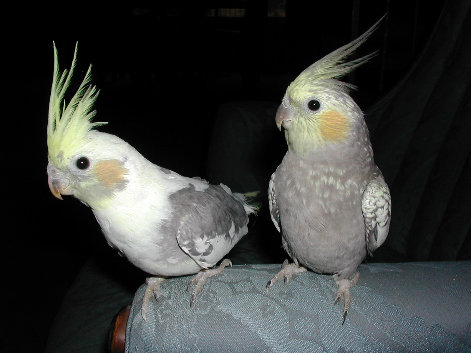 Cockatiels form very devoted pairs.