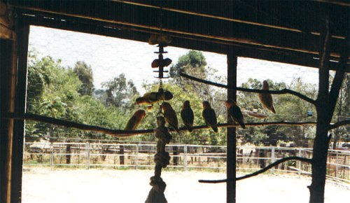 Aviary of lovebirds.