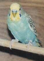 A yellowface blue budgie.