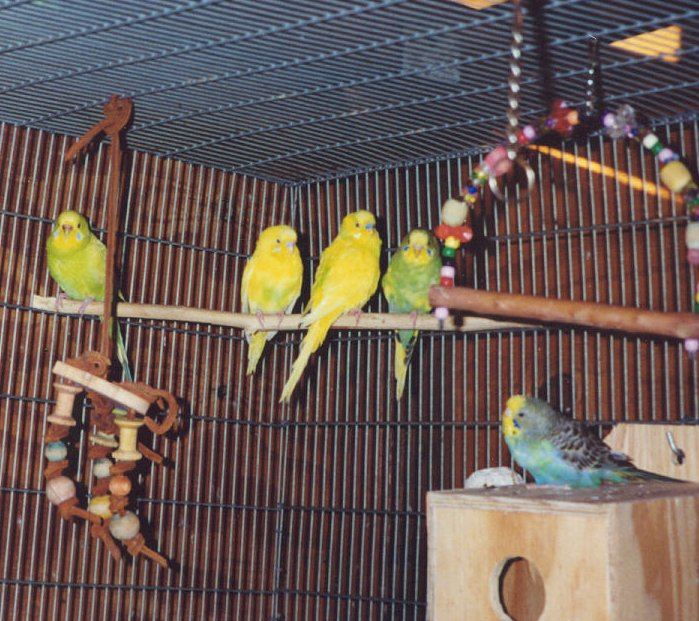 Budgie Breeding Room Breeding Budgies