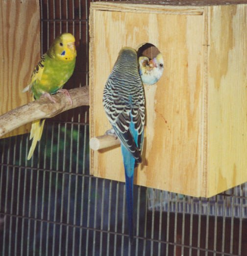 A female budgie (left) watching a male feed chicks.  Click to enlarge.