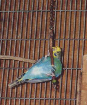 A female budgie at play.