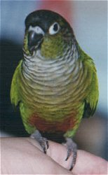 Greencheek conure.