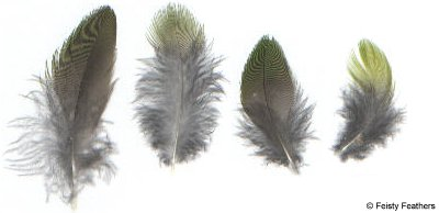 Karkariki feathers are elongated and fluffy.