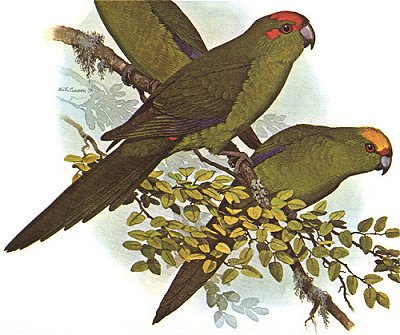 The Red-fronted and Yellow-crowned kakarikis.  From Forshaw.