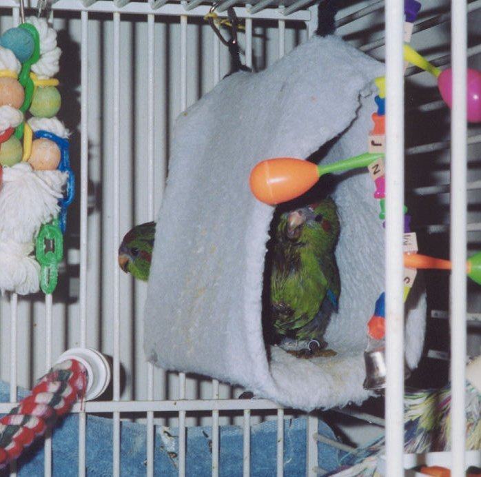 Two kakariki chicks in a Happy Hut.  These toys can be beneficial or harmful depending on the circumstances.