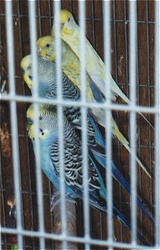 Four budgies