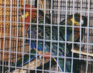 Rosellas, like these Stanleys, will attack other birds when breeding.