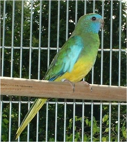 A female scarletchested parakeet.