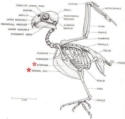 Pros and Cons of the Avian Skeletal System | Bio-aerial Locomotion 2011