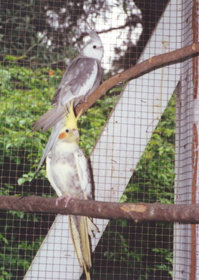This pair had problems when kept with kakarikis.